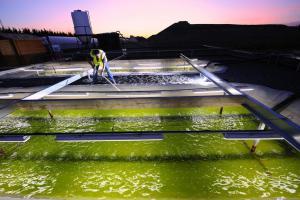 Les algues, nouveau biocarburant ? (Crédit : Riposte verte)