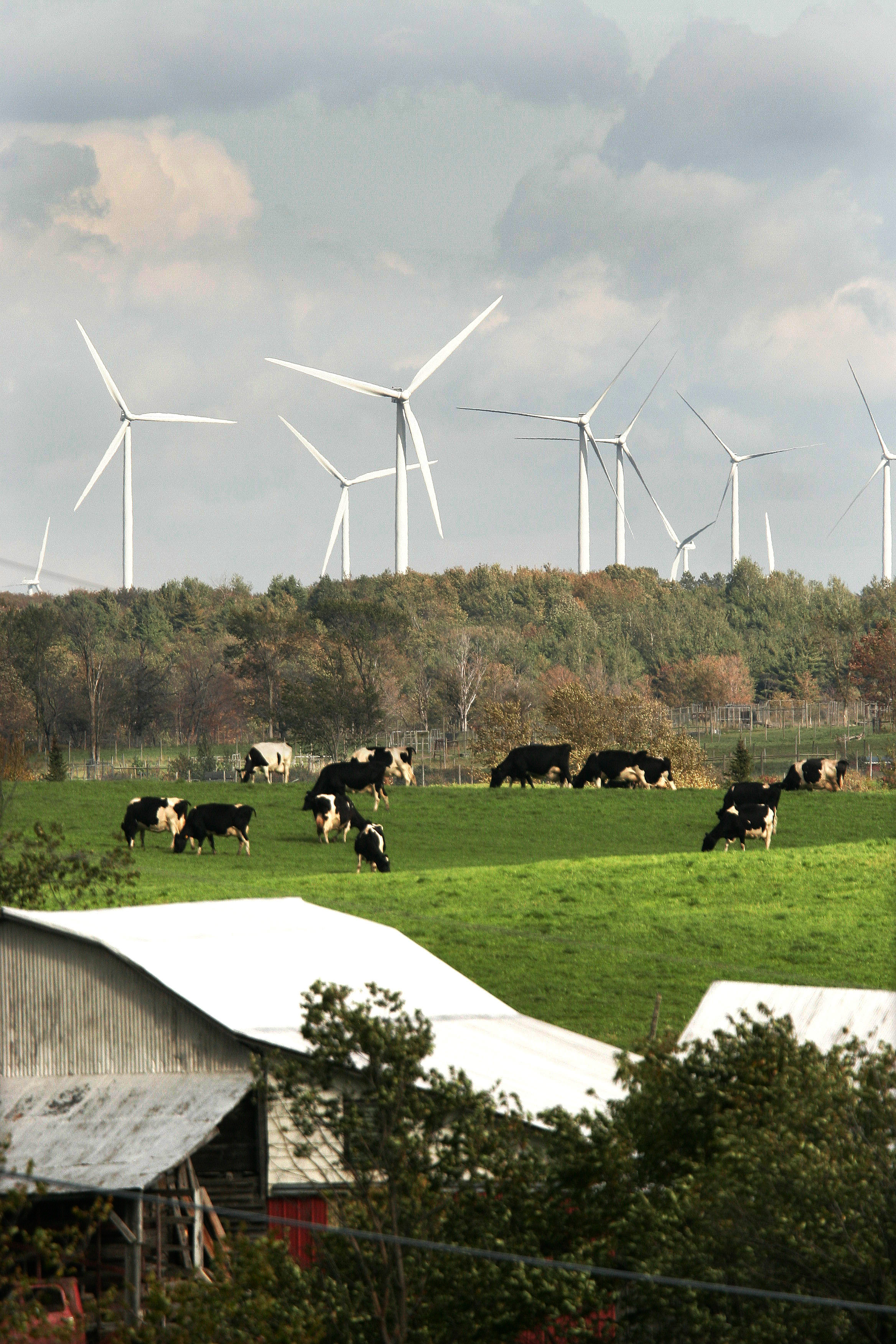 Dairy cows are dwarfed by wind turbines on his farm along New York State Route 177 near Lowville, N.Y., on Sunday, Sept. 24, 2006. Part of the Maple Ridge Wind Farm, it will have a projected completion of 120-wind turbines that is expected to generate 198mw of power. The official dedication of the project is Tuesday, Sept. 26th. (Photos by-Michael Okoniewski)