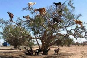 Chèvre dans un arganier